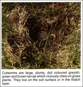 Cutworms are