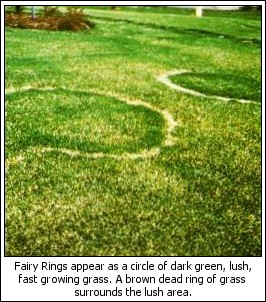 Fairy Ring first appears as a circle of dark green, lush, fast growing grass. A brown dead ring of grass surrounds the lush area