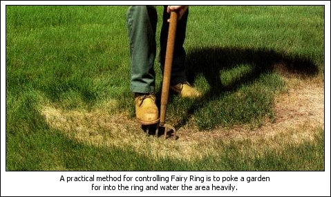A more practical method for controlling Fairy Ring is to poke a garden fork into the ring and water the areas heavily.