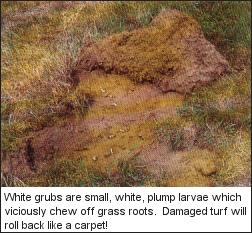 White Grubs are small, white, plump larvae wich chew off grass roots.