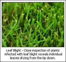 Image of Leaf Blight occurs on lawns during hot humid weather.